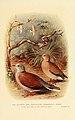 Oenopopelia Humilis Burmese Red Turtle Dove.jpg