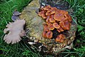 Often together at Chestnut stumps, Flammulina velutipes (Winter mushroom, Golden needle mushroom, Velvet stem, Enoki, D= Gemeiner Samtfußrübling, F= Collybie à pied velouté, NL= Gewoon fluweelpootje) white spores a - panoramio.jpg