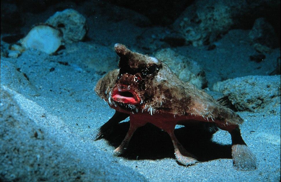 OgcocephalusParvus