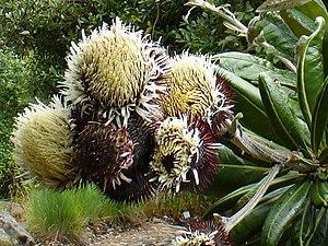 Oldenburgia grandis - Image: Oldenbergia grandis flower