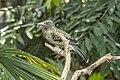 Olive-backed Oriole, Cairns, Queensland (22955888663).jpg