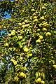 Olivenbaum (Olea europaea) 26.jpg