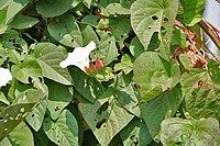 Operculina turpethum (Nisottar) in Kawal, AP W IMG 2211