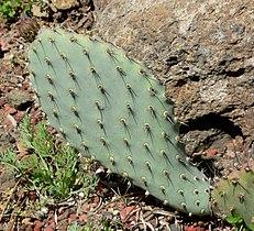 Opuntia basilaris var treleasei 4.jpg