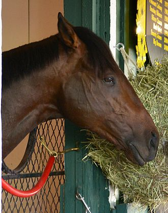 Orb (horse) - Orb at Pimlico in May 2013.