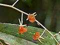 Orchid (Liparis grandiflora) (15387024188).jpg