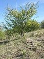 Orchis purpurea sl46.jpg
