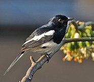 Oriental Magpie Robin (Copsychus saularis)- Male at Kolkata I IMG 3003