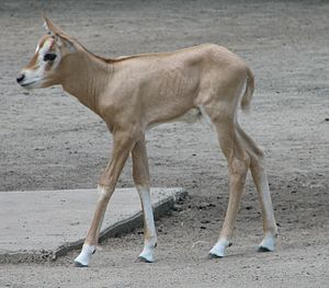 Scimitar oryx - A young scimitar oryx