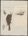 Ostracion cornutus - 1700-1880 - Print - Iconographia Zoologica - Special Collections University of Amsterdam - UBA01 IZ15400269.tif