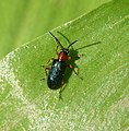 Oulema melanopus - duftschmidi. . Chrysomelidae - Flickr - gailhampshire.jpg