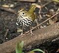 Ovenbird (4341808519).jpg