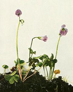 Oxalis violacea WFNY-121A.jpg