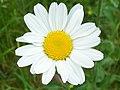 Oxeye daisy (Leucanthemum vulgare) (3610647629).jpg