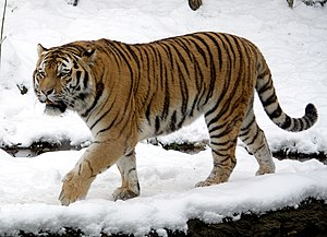 Siberian tiger - Male at the Leipzig Zoological Garden