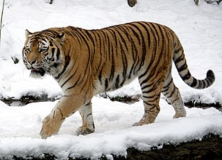 Siberian tiger subspecies of mammal