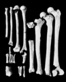 PSM V62 D474 Limb bones of the lansing skeleton.png