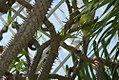 Pachypodium geayi 2zz.jpg