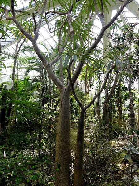File:Pachypodium lamerei - Palmengarten Frankfurt 2.jpg