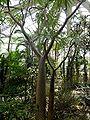 Pachypodium lamerei - Palmengarten Frankfurt 2.jpg