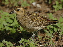 Pacific goldenplover LEI08.JPG