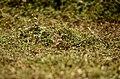 Paddyfield Pipit Vellode Bird Sanctuary JEG6648.jpg
