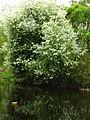 Padus avium (a pond) 01.JPG
