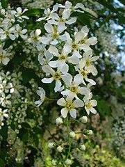 Čremcha obyčajná - kvety