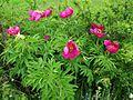 Paeonia-officinalis20709.jpg