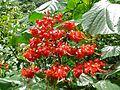 Pagoda Plant (Clerodendrum paniculatum) (8415261888).jpg