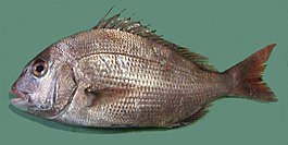 Pagrus major Red seabream ja01.jpg