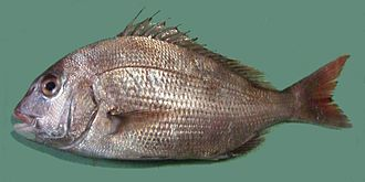 Pagrus - Red seabream