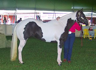 American Paint Horse American horse breed defined by a part-colored coat