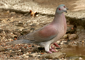 Pale-vented Pigeon.png