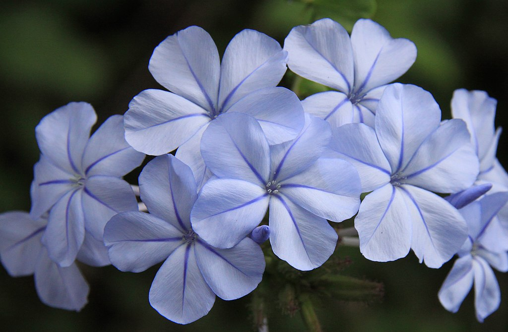 File:Pale blue flower (3309415614).jpg - Wikimedia Commons