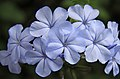 Pale blue flower (3309415614).jpg