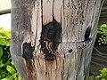 Palm stem injection holes (37702527134).jpg