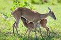 Pampas deer nursing fwan.jpg