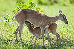 Pampas deer - Female Pampas deer nursing fawn in the Pantanal, Brazil.