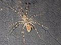 Pandercetes gracilis (40127610865).jpg
