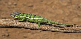 Panther chameleon Species of lizard
