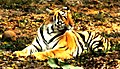 Panthera tigris - the big cat.jpg