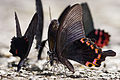 Papilio dialis tatsuta male ventral view 20140816.jpg