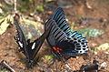 Papilio helenus (left) and Papilio memnon anceus (right) (23924849024).jpg