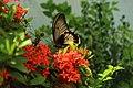 Papilio memnon menghisap nektar.jpg