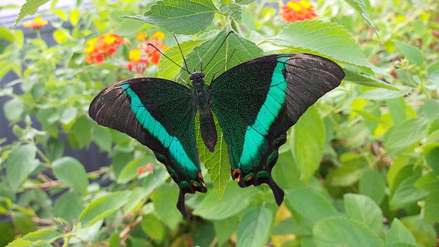 Sưu tập Bộ cánh vẩy 2 - Page 67 640px-Papilio_nireus_a