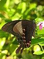 Papilionid.jpg