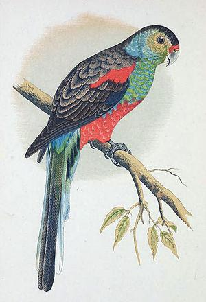 Paradise parrot - Image: Paradise Parrot