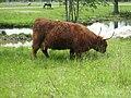 ParcSafari Jul10 - Highlander Cattle - panoramio.jpg