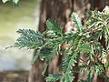 Parc Olbius Riquier - Sequoia sempervirens (foliage) 2.jpg